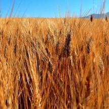 Magnifique champs de blé